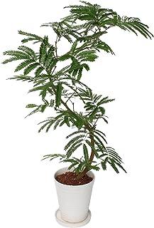 イイハナ・ドットコム 観葉植物 エバーフレッシュ 7号