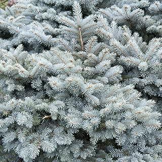 Mejor Picea Pungens Colorado Spruce de 2020 - Mejor valorados y revisados