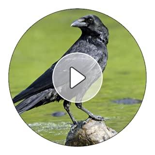 Crow Sounds And Ringtones