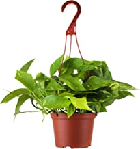 """Shop Succulents   Vining Hand Selected, Air Purifying Easy Care Live Indoor/Outdoor Pothos Devil's Ivy House Plant in 6"""" G..."""
