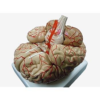 Amazon   人体模型 脳 模型 脳解剖模型 取り外し可能 高性能 実物大 ...
