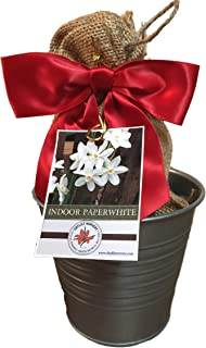 Rustic Tin Ziva Paperwhite Holiday Gift Growing Kit, Deluxe Edition. Includes a Rustic Silver Pot, 3 Large Paperwhite Bulbs, a Burlap Gift Bag and Professional Growing Medium