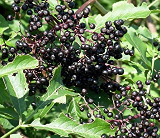 Adams Elderberry Perennial Shrub - Sambucus - 3.25