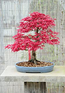 Bonsai Tree Garden Seed Starter - Grow Miniature Trees Indoors: Organic Seeds Only, Gardening, Soil Mix Kit, Planting Pots, Plant Growing Guide Not Included. Unique Gift for Men Women.