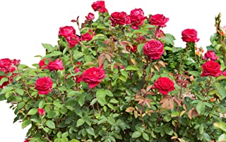 Kashmir Red Easy Elegance Rose - Live Plant - 4