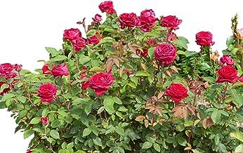 kashmir rose bush