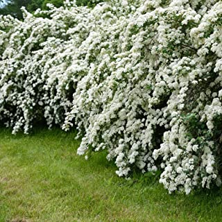 Cottage Hill Spirea 'Reeves' - 2 Piece Live Plant, White Blooms