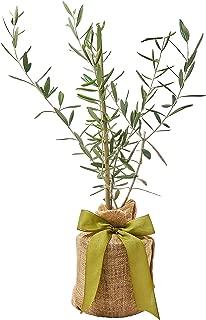 The Magnolia Company, Olive Tree - No ship to California
