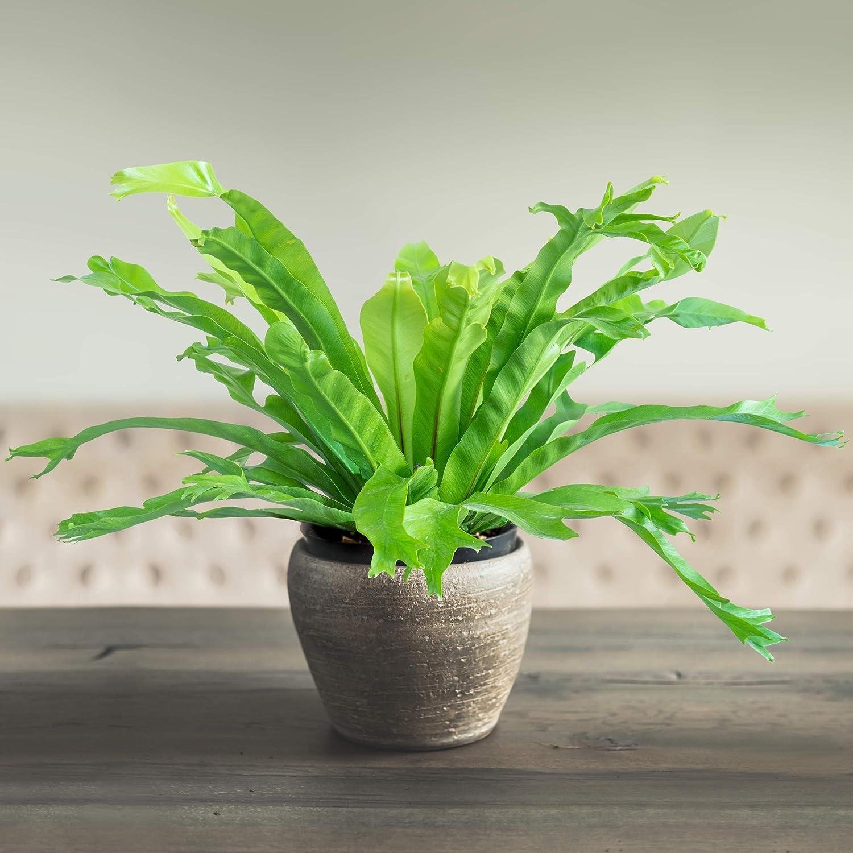 National Plant Network NPNAZ7194 AZ7244 激安セール 'Green 価格 Fern Live Flame'