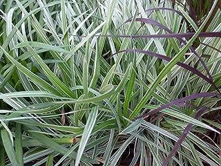 6 Liriope Muscari Aztec Grass Live Plants