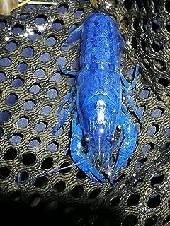 Polar Bear's Pet Shop Female Electric Blue Crayfish Live Fish Crawfish crawdad Lobster Shrimp Aquarium