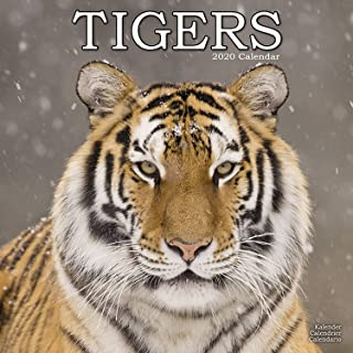 Tiger Calendar - Calendars 2019 - 2020 Wall Calendars - Animal Calendar - Tigers 16 Month Wall Calendar by Avonside (Multilingual Edition)