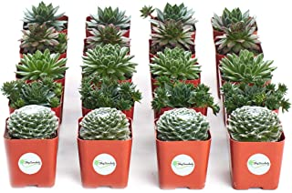 Shop Succulents | Sempervivum Hen and Chick, Hand Selected Variety Pack of Live Succulents | Collection of 20 in 2 pots, 20, Green