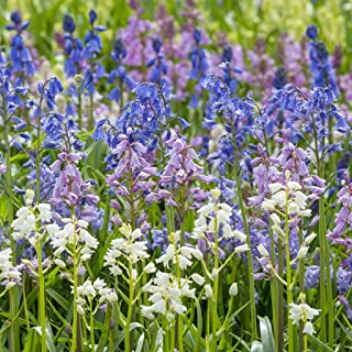 Van Zyverden Spanish Blue Bells Mixed Colors Set of 25 Bulbs
