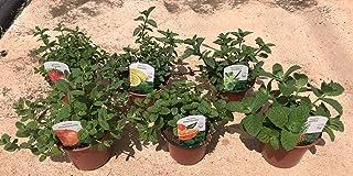 Menta Mix Sabores Pack 6 Plantas con Fragancias a frutos Variados-Plantas Natural y Aromática-Planta Viva-Vipar Garden 40