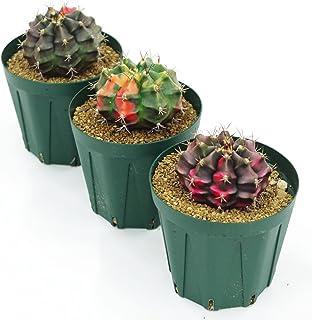 (株) 赤塚植物園 ① ペッタムシィー(Petchtamsee)農場のギムノカリキウム プラスティック鉢仕様