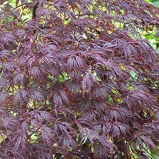 HOT - Acer palmatum dis atropurpureum Red Pygmy RED LACELEAF Japanese Maple Seeds