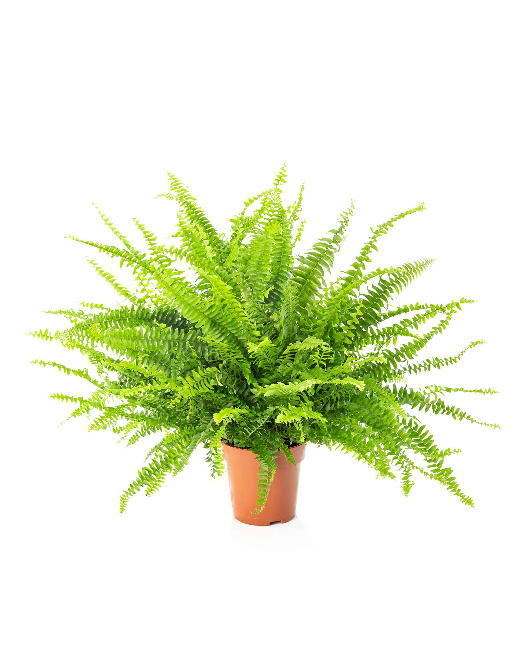 AIRY Helecho - Nephrolepis Exaltata - Purificador natural del aire para un mejor clima interior - Adecuada para la ...