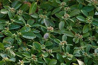 Wild Florida Poinsettia (25 Seeds) Fresh This Season's Harvest from My Garden