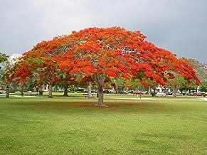 2 Red Royal Poinciana live Tree - Red Delonix Regia live Tree