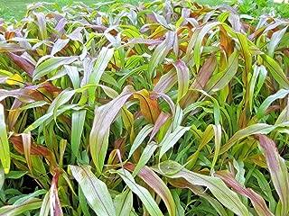30 Jester Ornamental Millet Seeds - Pennisetum glaucum
