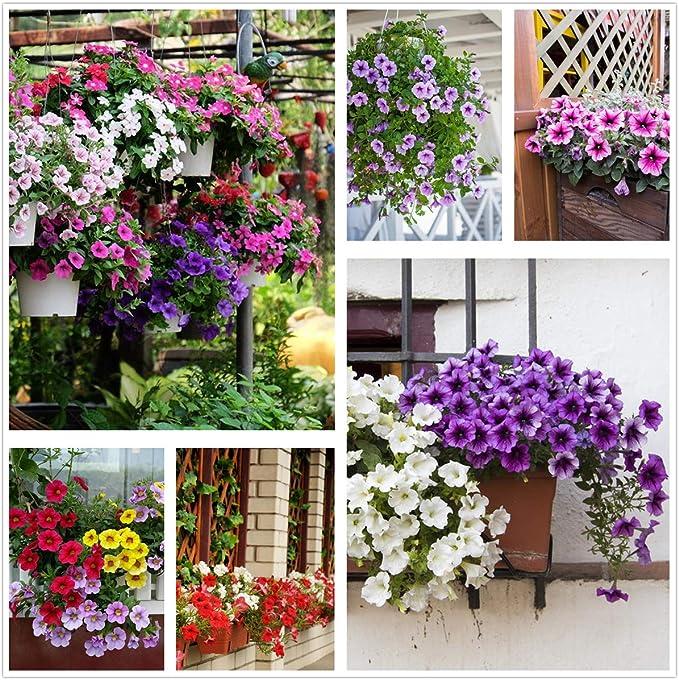 125 opinioni per Petunia Seeds80000 + Pcs 'Color-Themed Collection' (Rainbow Colors) Semi di