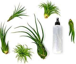 6 Air Plant Terrarium Kit   Large Tillandsia Variety Pack with Spray Bottle Mister for Fertilizer   Live Assorted Indoor Airplants by Plants for Pets