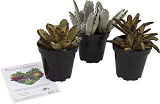 Altman Plants Assorted Live Fuzzy Succulents Large soft touchable plants, great addition to any planter 3.5