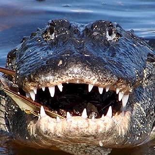 Best hd alligator wallpaper Reviews