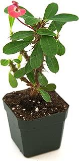 Euphorbia milii 'Dwarf Apache' - Crown of Thorns