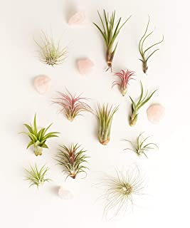 Shop Succulents | Assorted Live Plants and Rose Quartz, Hand Selected Air Succulents | Collection of 12