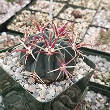 devil's tongue cactus flower
