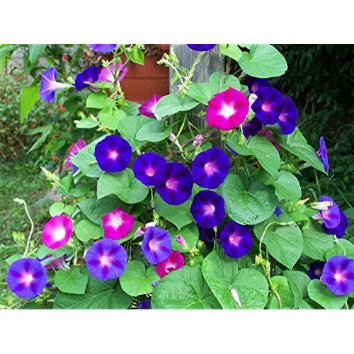 Seeds care Morning Glory (Mixed Pack of 50 Seeds)
