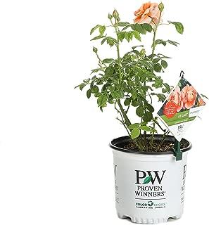 Best apricot rose bush Reviews