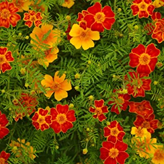 French Marigold Flower Garden Seeds - Disco Series - Mix - 1000 Seeds - Annual Flower Gardening Seeds - Tagetes patula