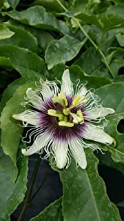 Best maypop plants for sale Reviews