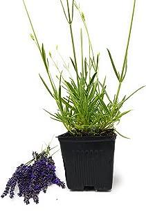 Best sweet romance lavender plant Reviews