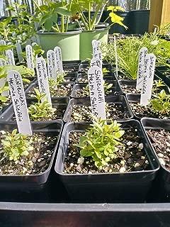 Sinicuichi, Heimia Salicifolia, 4in Potted Plant, GMO Free, Organic Plants