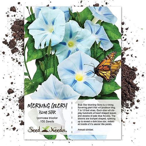 Blue Morning Glory: Amazon com