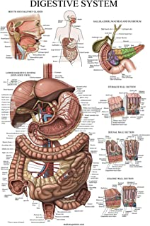 Best muscle anatomy chart Reviews