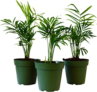 9Greenbox Victorian Parlor Palm, 4 Pound (Pack of 3)