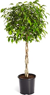 Benjamina Ficus Tree 3-4 ft. Tall - Unique Potted Tree, Perfect as a Live Patio Plants or Indoor Trees - Not Artificial Plants | No Shipping to AZ
