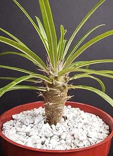 Pachypodium Geayi @ Rare Madagascar Palm Plant Cactus Cacti Caudex Bonsai 4