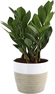 Costa Farms ZZ Zamioculcas zamiifolia, Indoor Plant, 12-Inch Tall, White-Natural Décor Planter