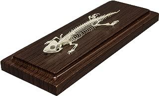 Lizard Skeleton (Articulated) (Natural Bone Economy)