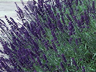 Hirt's Hidcote Blue Lavender Herb - Calming - Live Plant - Quart Pot