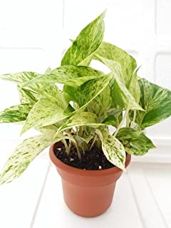"'Marble Queen' Devil's Ivy - Pothos - Epipremnum - 4.5"" Unique Design Pot - Easy to Grow From Jm Bamboo"