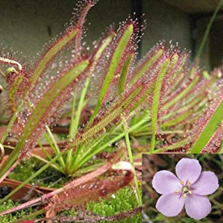 Chicoco Seed,Decorate Your Garden - 100Pcs Cape Sundew Fresh Drosera Capensis Carnivorous Garden Plant Easy Grow