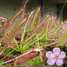 AT27clekca Drosera Capensis Seeds Sachet 100Pcs Cape Sundew Fresh Drosera Capensis Carnivorous Garden Plant Easy Grow