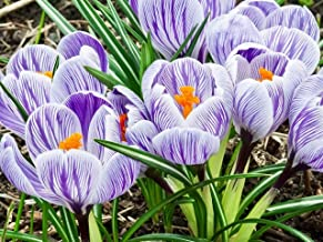 Nianyan 25 Giant Crocus Bulbs-King Of The Striped- Spring Blooming